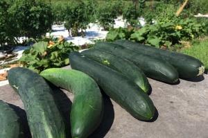 Farm stand cucumbers